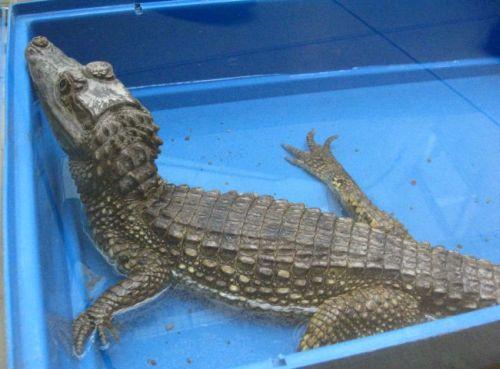 Krokodilas kaimanas