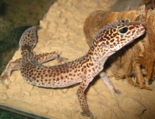 Leopardinis gekonas