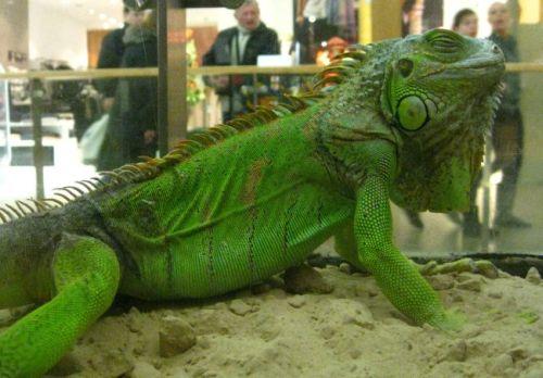 Žalioji Iguana